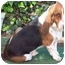 Photo 2 - Basset Hound Dog for adoption in Poway, California - Toby