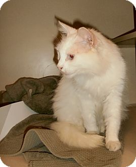 Domestic Longhair Cat for adoption in Chesapeake, Virginia - Pearl