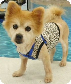 Pomeranian Dog for adoption in Mooy, Alabama - Andy