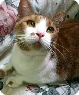 Domestic Shorthair Cat for adoption in Fremont, Ohio - Nala