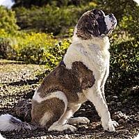 Adopt A Pet :: Thor - Glendale, AZ