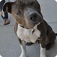 Pit Bull Terrier Dog for adoption in Dallas, Georgia - Jiggy - Courtesy