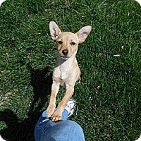 Adopt A Pet :: Miley - Shawnee Mission, KS