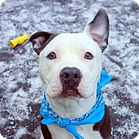 American Pit Bull Terrier Mix Dog for adoption in Brooklyn, New York - Jax