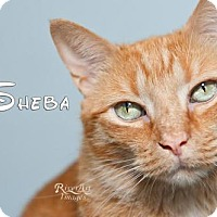Domestic Mediumhair Cat for adoption in Fort Mill, South Carolina - Sheba