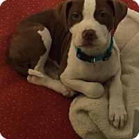 Adopt A Pet :: Harper - CHICAGO, IL