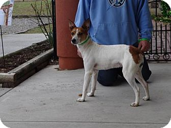 Jack Russell Terrier Mix Dog for adoption in Dublin, Virginia - Rue
