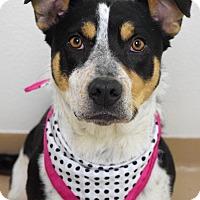 Adopt A Pet :: Bindi - Dublin, CA