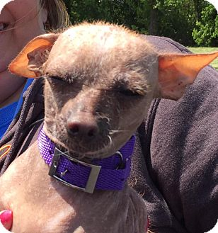 Chinese Crested/Chihuahua Mix Dog for adoption in Wyanet, Illinois - Lillian