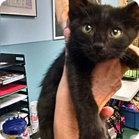 Adopt A Pet :: Dark Matter - Bloomingdale, IL