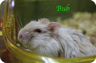 Hamster for adoption in Bradenton, Florida - Bub