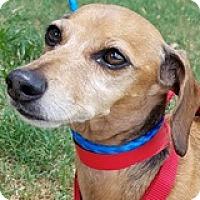 Adopt A Pet :: Molly Martinique - Houston, TX