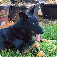 Adopt A Pet :: Ava / ADOPTION PENDING - Woodinville, WA