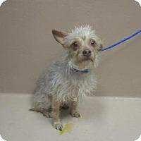 Adopt A Pet :: Coque - Reno, NV