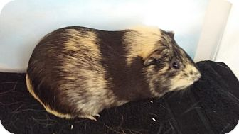 Guinea Pig for adoption in Aurora, Colorado - Brigadier