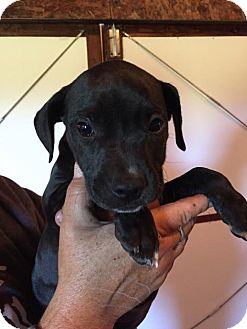 Pit Bull Terrier Mix Puppy for adoption in Blossvale, New York - Shoes (Wendy- Blossvale)