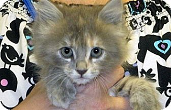 Domestic Mediumhair Kitten for adoption in Wildomar, California - 315677