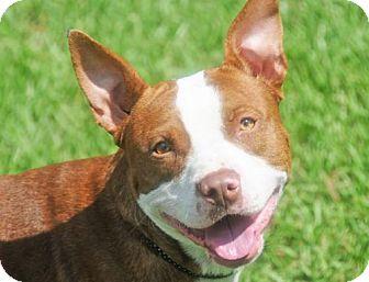 Terrier (Unknown Type, Medium) Mix Dog for adoption in Fernandina Beach, Florida - GABE