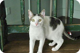 Domestic Mediumhair Cat for adoption in San Antonio, Texas - Glenda