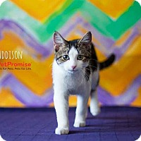 Adopt A Pet :: Addison - Columbus, OH