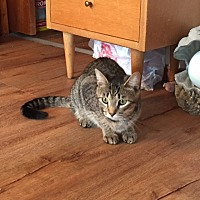 Domestic Shorthair Cat for adoption in Islip, New York - Tara