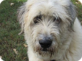 Great Pyrenees/Irish Wolfhound Mix Dog for adoption in Kiowa, Oklahoma - Blake (Pending Adoption)