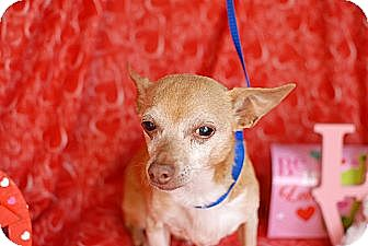 Chihuahua Mix Dog for adoption in Houston, Texas - Felix