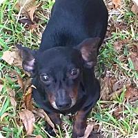 Dachshund Dog for adoption in Houston, Texas - Hot Rod Durham
