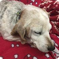 Beagle Dog for adoption in Pottstown, Pennsylvania - Sandy