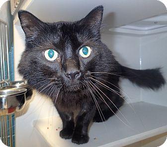 Domestic Longhair Cat for adoption in Newport, North Carolina - Niegel