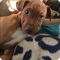 Adopt A Pet :: Dubai - BONITA, CA