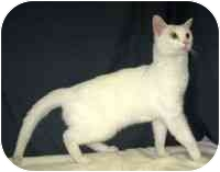 Domestic Shorthair Cat for adoption in Powell, Ohio - Kylie