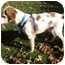 Photo 3 - Brittany Dog for adoption in Buffalo, New York - Tucker