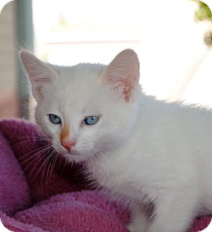 Siamese Kitten for adoption in Palmdale, California - Starbuck