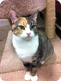 Domestic Shorthair Cat for adoption in Warminster, Pennsylvania - Happy