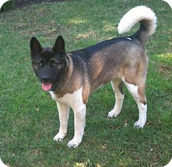 Akita Dog for adoption in Hayward, California - Cleo - Adopted!