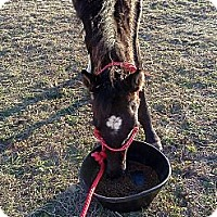 Adopt A Pet :: Bo - Simms, TX