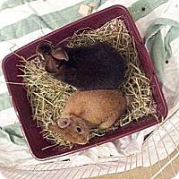 Adopt A Pet :: Chestnut and Buttons - Conshohocken, PA