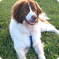 Adopt A Pet :: Moe - Covington, KY