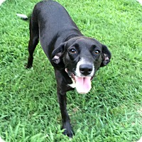 Labrador Retriever/Beagle Mix Dog for adoption in Bedminster, New Jersey - Darlin