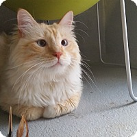 Maine Coon Cat For Adoption In Randolph New Jersey Cotton