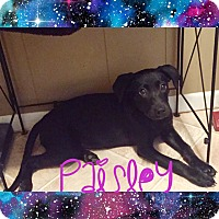 Adopt A Pet :: Paisley - Bowie, MD