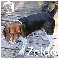 Adopt A Pet :: Zelda - Novi, MI
