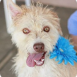 Photo 1 - Wheaten Terrier/Terrier (Unknown Type, Medium) Mix Dog for adoption in Canoga Park, California - Tanner