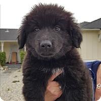 Adopt A Pet :: GOLIATH - Winnetka, CA
