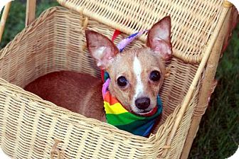 Chihuahua Dog for adoption in Dallas, Texas - Peppy Chi