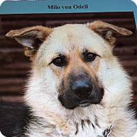 Adopt A Pet :: MILO VON ODELL - Los Angeles, CA