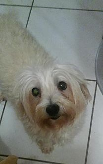 Maltese Dog for adoption in Fort Lauderdale, Florida - Asia