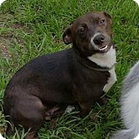 Adopt A Pet :: Missy - Brooksville, FL