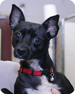 Miniature Pinscher Mix Dog for adoption in McDonough, Georgia - Starr